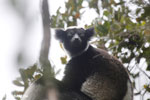 The Indri, the world's largest lemur [madagascar_perinet_0571]
