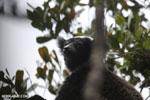 Indri (Indri indri) [madagascar_perinet_0572]