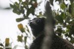 Indri [madagascar_perinet_0573]