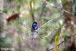 Blue vanga (Cyanolanius madagascarinus) [madagascar_perinet_0580]