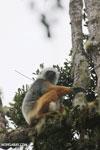 Diademed sifaka (Propithecus diadema) [madagascar_perinet_0581]