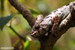 Oustaleti chameleon [madagascar_perinet_0655]