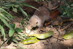 Common tenrec (Tenrec ecaudatus) [madagascar_perinet_0674]