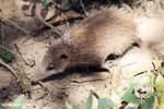Common tenrec (Tenrec ecaudatus) [madagascar_perinet_0675]