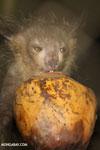 Aye-aye feeding on a coconut [madagascar_tamatave_0009]