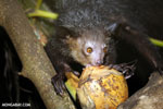 Aye-aye feeding on a coconut [madagascar_tamatave_0010]