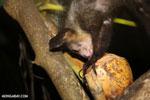 Aye-aye feeding on a coconut [madagascar_tamatave_0012]