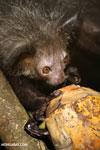 Aye-aye feeding on a coconut [madagascar_tamatave_0013]