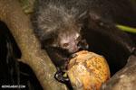 Aye-aye feeding on a coconut [madagascar_tamatave_0014]