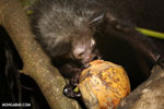 Aye-aye feeding on a coconut [madagascar_tamatave_0016]