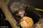 Aye-aye feeding on a coconut [madagascar_tamatave_0017]