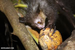 Aye-aye feeding on a coconut [madagascar_tamatave_0019]