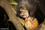 Aye-aye feeding on a coconut [madagascar_tamatave_0020]