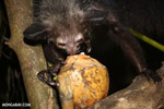 Aye-aye feeding on a coconut [madagascar_tamatave_0029]