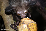 Aye-aye feeding on a coconut [madagascar_tamatave_0030]