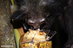 Aye-aye feeding on a coconut [madagascar_tamatave_0031]