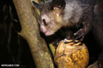 Aye-aye feeding on a coconut [madagascar_tamatave_0035]