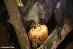 Aye-aye feeding on a coconut [madagascar_tamatave_0038]