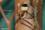 Dwarf lemur (Cheirogaleus sp) [madagascar_tamatave_0040]