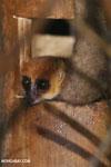 Dwarf lemur (Cheirogaleus sp) [madagascar_tamatave_0041]