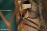 Dwarf lemur (Cheirogaleus sp) [madagascar_tamatave_0042]
