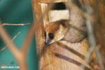 Dwarf lemur (Cheirogaleus sp) [madagascar_tamatave_0043]