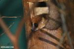 Dwarf lemur (Cheirogaleus sp) sharing a hole with a mouth lemur