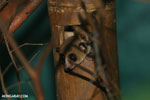 Dwarf lemur (Cheirogaleus sp) sharing a hole with a mouth lemur [madagascar_tamatave_0047]