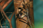 Dwarf lemur (Cheirogaleus sp) sharing a hole with a mouth lemur [madagascar_tamatave_0048]