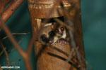 Dwarf lemur (Cheirogaleus sp) sharing a hole with a mouth lemur [madagascar_tamatave_0051]