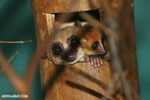 Dwarf lemur (Cheirogaleus sp) sharing a hole with a mouth lemur [madagascar_tamatave_0052]