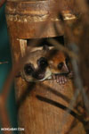 Dwarf lemur (Cheirogaleus sp) sharing a hole with a mouth lemur [madagascar_tamatave_0054]