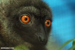 Female white-headed brown lemur (Eulemur albifrons)