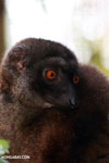 Female white-headed brown lemur