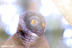 Female white-fronted lemur