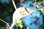 Female Panther chameleon [madagascar_tamatave_0063]