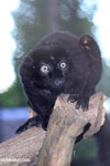 Male blue-eyed black lemur (Eulemur flavifrons)