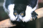 Black-and-white ruffed lemur (Varecia variegata) [madagascar_tamatave_0078]