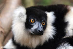 Black-and-white ruffed lemur (Varecia variegata) [madagascar_tamatave_0083]