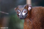 Male Red-bellied Lemur (Eulemur rubriventer) [madagascar_tamatave_0089]