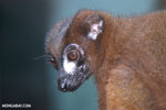 Red-bellied Lemur (Eulemur rubriventer)