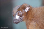 Red-bellied Lemur (Eulemur rubriventer) [madagascar_tamatave_0092]