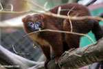 Female Red-bellied Lemur (Eulemur rubriventer) [madagascar_tamatave_0093]