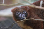 Female Red-bellied Lemur (Eulemur rubriventer) [madagascar_tamatave_0094]