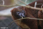 Female Red-bellied Lemur (Eulemur rubriventer) [madagascar_tamatave_0095]
