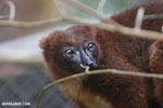 Female Red-bellied Lemur (Eulemur rubriventer) [madagascar_tamatave_0096]