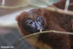 Female Red-bellied Lemur (Eulemur rubriventer) [madagascar_tamatave_0097]