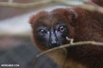Female Red-bellied Lemur (Eulemur rubriventer) [madagascar_tamatave_0098]