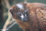 Male Red-bellied Lemur (Eulemur rubriventer) [madagascar_tamatave_0103]