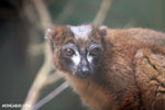 Male Red-bellied Lemur (Eulemur rubriventer) [madagascar_tamatave_0104]